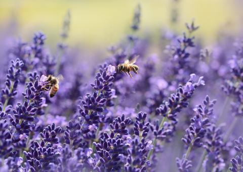 bees on purple flowers